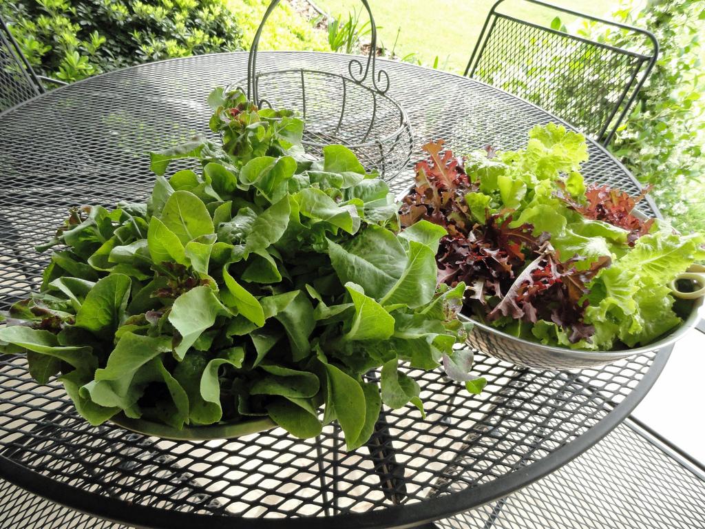 Nella foto si vedono delle foglie di lattuga in due scolapasta su un tavolo in giardino