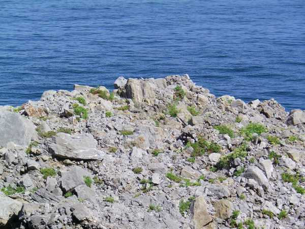 Piante di Finocchio di mare su una scogliera