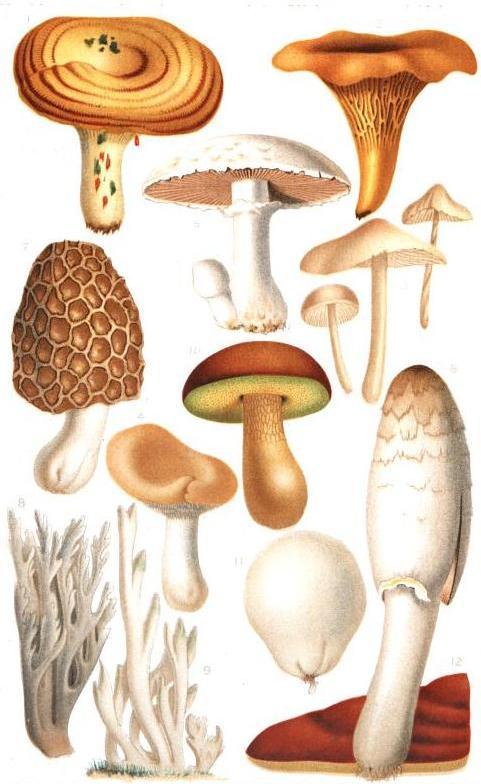 Illustrazione di funghi