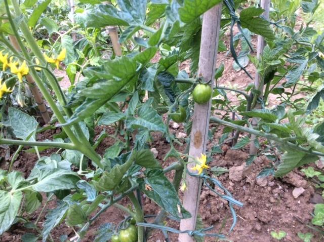 piante di pomodoro con piccoli pomodori acerbi