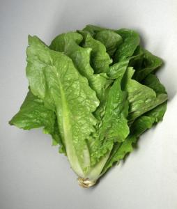 foglie di lattuga romana