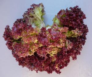 foglie di lattuga lollo rosso