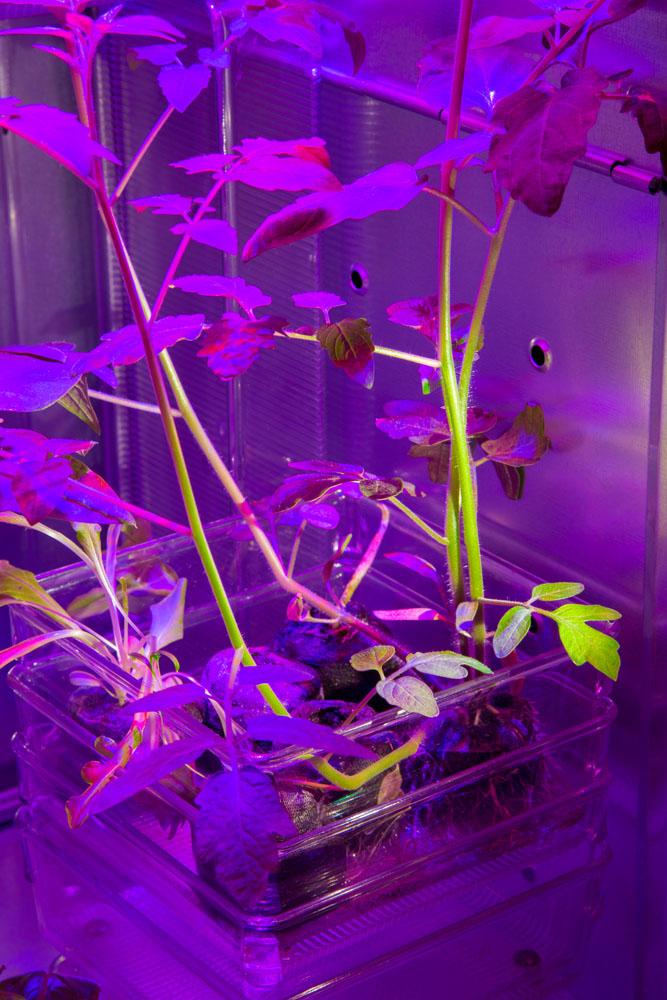 Piante da insalata in teca illuminata da luce violacea